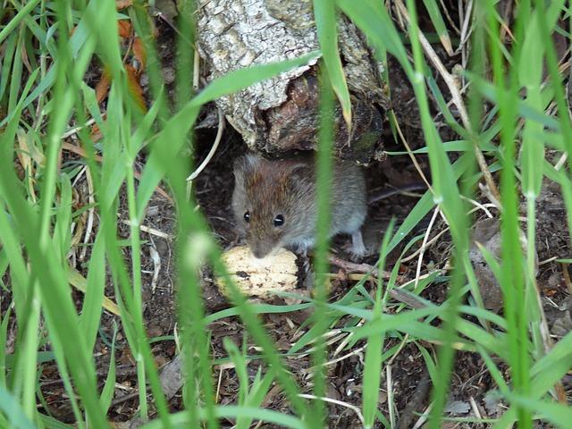 polní myška